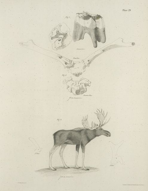 1. The Fossil Stag, skull, horns and teeth, (Elaphus americanus). 2. The Moose (Cervus alces). Horns of the second and third year.