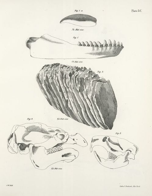 1. The Grampus, a single tooth, lower jaw, (Phocæna orca). 2. The American Elephant, fossil tooth, (Elephas americanus). 3. The Musquash, skull, (Fiber zibethicus). 4. The Manatee, skull, (Manatus americanus).