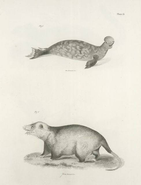 1. The Hooded Seal (Stemmatopus cristatus). 2. The Opossum (Didelphis virginiana).