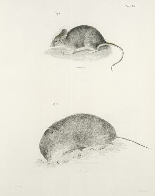 1. The jumping Mouse (Mus leucopus). 2.  The yellow cheeked Meadow-mouse (Ar. xanthognathus).