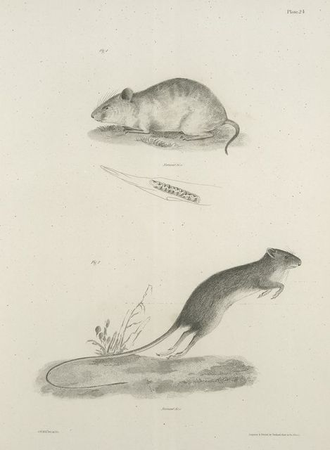 1. The Light-colored Meadow-mouse (Ar. albo-rufescens). Dentition of the same. 2. The Deer Mouse (Meriones americanus).