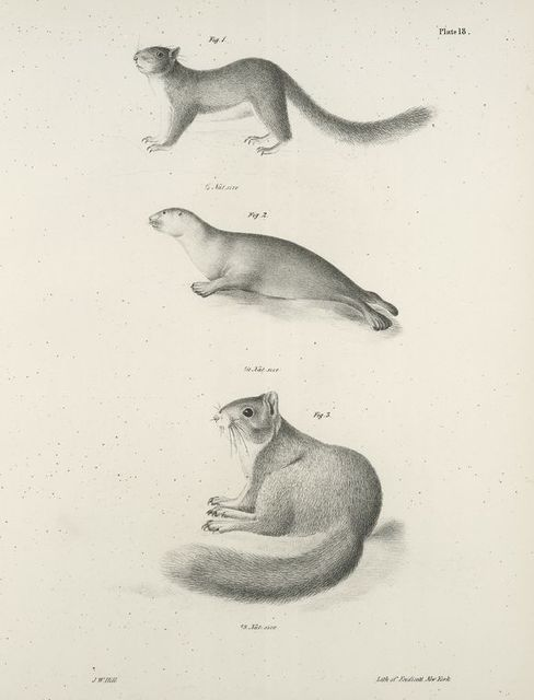 1. The Little Gray Squirrel (Sciurus leucotis). 2. The Amrican Seal (Phoca concolor).