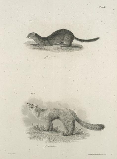 1. The Mink (Putorius vison). 2. The American Sable or Marten (Mustela martes).