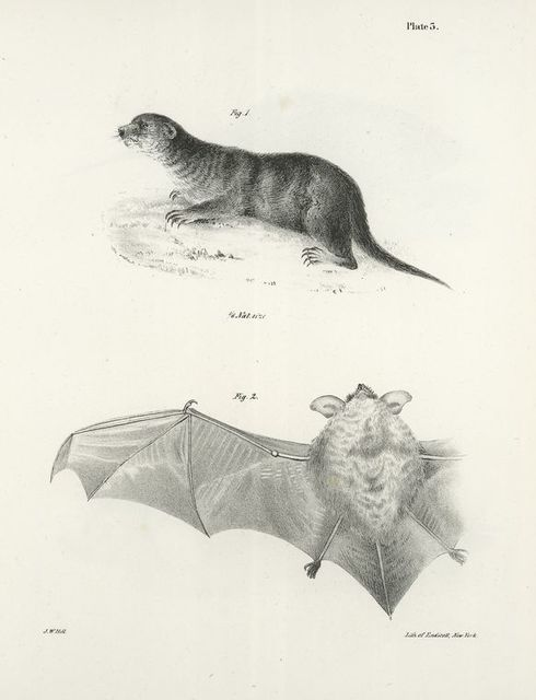 1. The North American Otter (Lutra  canadensis). 2. The Little Brown Bat (V. subulatus).