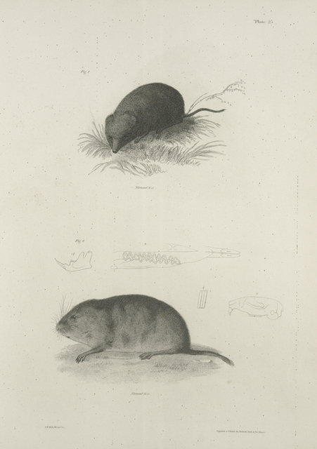 1. The Oneida Meadow-mouse (Arvicola oneida). 2. The Beaver Field-mouse. Dentition of the same.