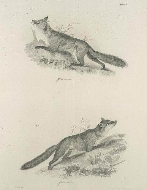 1. The Red Fox (Vulpus fulvus). 2. The Grey Fox (V. virginianus).