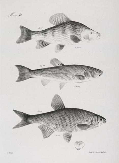101. The Gibbous Chunsucker (Labeo gibbosus). 102. The Black-headed Dace (Leuciscus atro-maculatus). 103. The Variegated Bream (Abramis  versicolor).