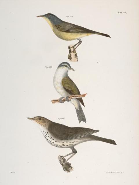 104. The Red-poll Warbler (Sylvicola rubricapilla). 105. The Tennessee Warbler (Vermivora peregrina). 106. The New York Water Thrush (Seiurus noveboracensis).