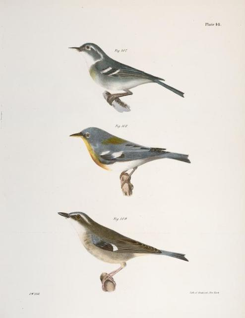 107. The Blue-grey Warbler (Sylvicola cærulea). 108.  The Blue Yellow-backed Warbler (Sylvicola americana). 109. The Black-throated Blue Warbler (Sylvicola canadensis).