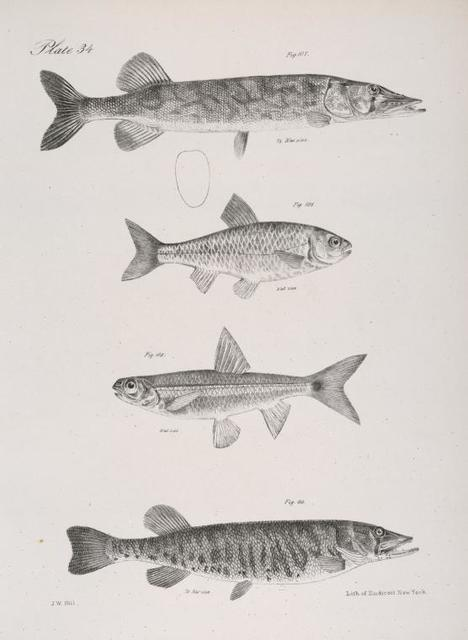 107. The Commmon Pickerel (Esox reticulatus). 108. The Banded Dace (Leuciscus vittatus). 109. The Spawn-eater (L. hudsonius). 110. The Barred Pickerel (Esox fasciatus).