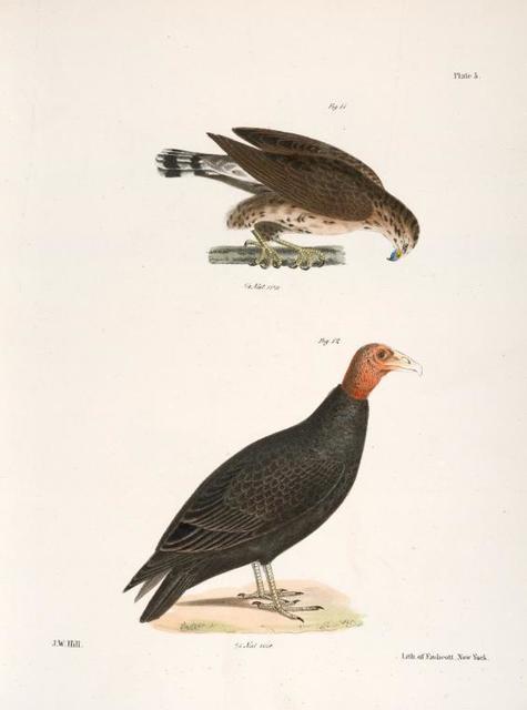 11. The Broad-winged Buzzard (Buteo pennsylvanicus). 12. Turkey  Buzzard (Cathartes aura).