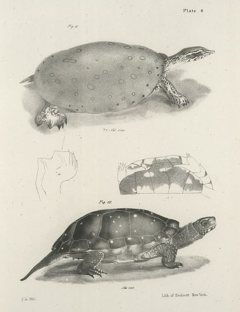 11. The Soft-shelled Turtle (Trionyx ferox). 12. The Spotted Tortoise (Emys guttata).