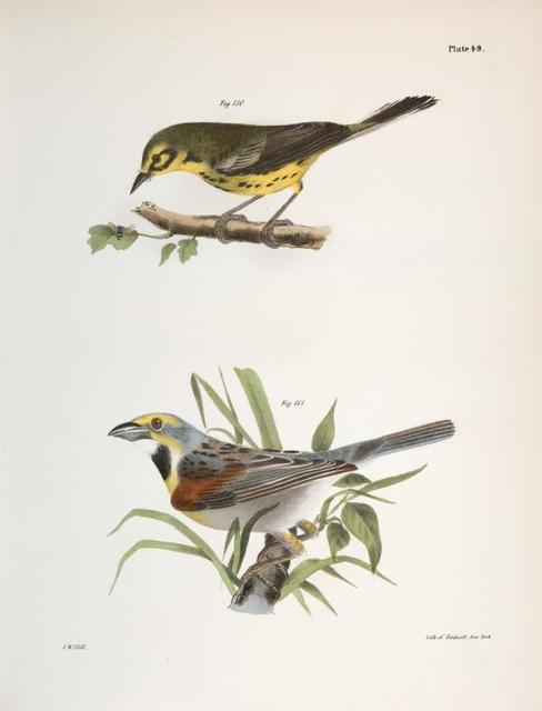 110. The Prairie Warbler (Sylvicola discolor). 111. The Black-throated Bunting (Emberiza americana).