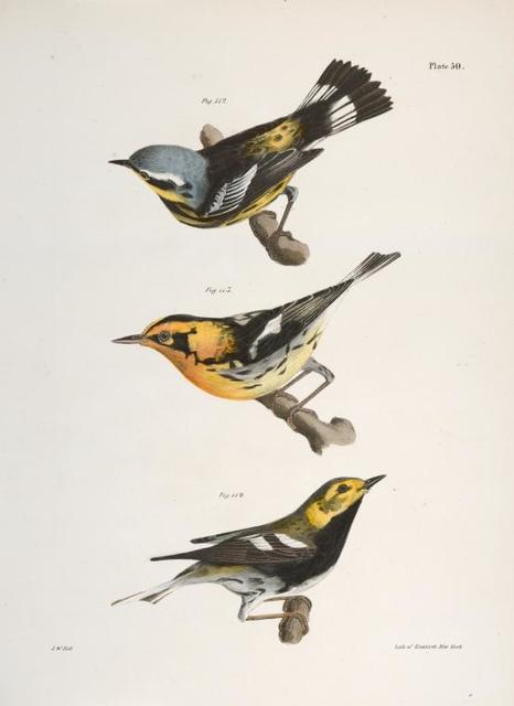 112. The Spotted Warbler (Sylvicola maculosa). 113. The Blackburnian Warbler (Sylvicola blackburniæ). 114. The Black-throated Green Warbler (Sylvicola virens).