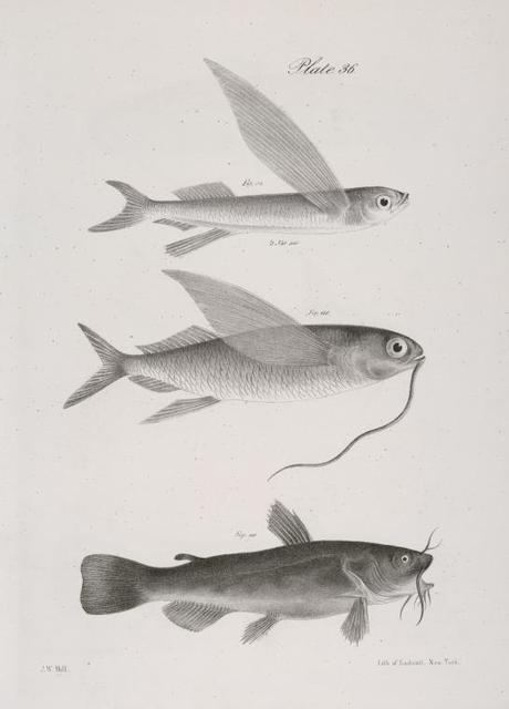 114. The New-York Flying-fish (Exocetus noveboracensis). 115. The Single-bearded Flying-fish (E. comatus). 116. The Black Catfish (Pimelodus atrarius).