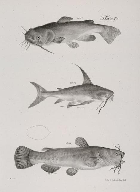 117. The Brown Catfish (Pimelodus pullus). 118. The Oceanic Catfish (Galeichthys marinus). 119. The Common Catfish (Pimelodus catus).