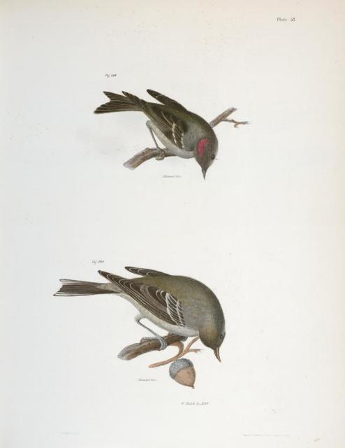 119. The Ruby-crowned Kinglet (Regulus calendula). 120. The Pine Warbler (Sylvicola pinus).