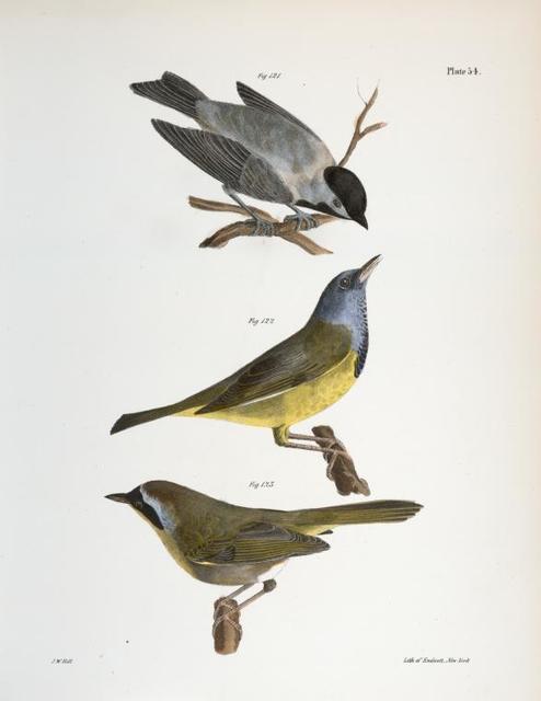 121. The Carolina Tit (Patus carolinensis). 122. The Mourning Warbler (Trichas philadelphia). 123. The Yellow-throat (Trichas marilandica).