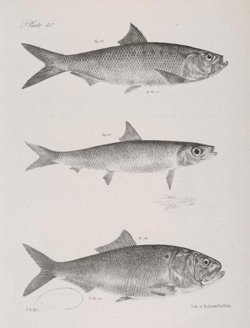 127. The Autumnal Herring (Alosa mattowaca).  128. The Slender Herring (A. Teres). 129. The Spotted Shadine (A. sadina).