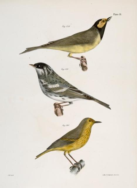 128. The Hooded Warbler (Wilsonia mitrata). 129. The Blackpoll Warbler (Sylvicola striata). 130. The Summer Yellowbird (Sylvicola æstiva).