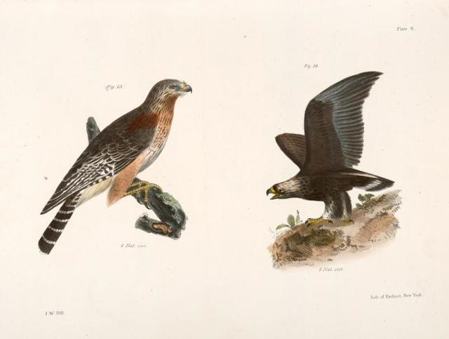 13. The Red-shoudered Buzzard (Buteo hyemalis). 14. The Golden Eagle (Aquila Chrysaëtos).