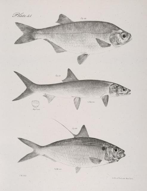 130. The River Mooney (Hyodon tergisus). 131. The Saury (Elops saurus). 132. The Spotted Thread Herring (Chatoessus signifer).