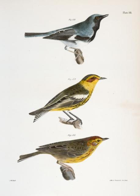 131. The Black-throated Blue Warbler (Sylvicola canadensis). 132. He Cape-May Warbler (Sylvicola maritima). 133. The Nashville Warbler (Syvicola ruficapilla).