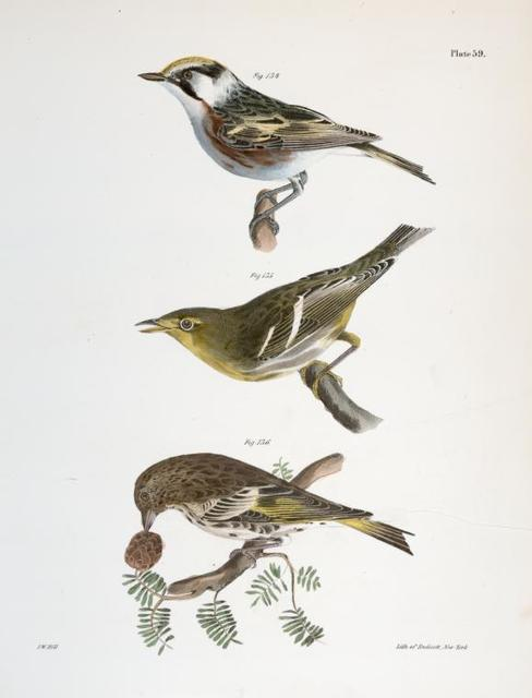 134. The Chestnut-sided Warbler (Sylvicola icterocephala). 135. The Hemlock Warbler (Sylvicola parus). 136. The Pine Finch (Carduelis pinus).