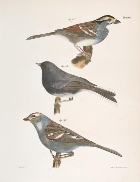 137. The White-crowned Sparrow (Fringilla graminea). 138. The Snowbird (Struthus hyemalis). 139. The White-crowned Sparrow (Fringilla leucophrys).