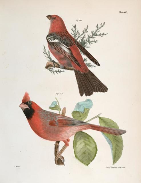142. The Pine Bulfinch (Corythus enucleator). 143. The Cardinal Grosbeak (Pitylus cardinalis).