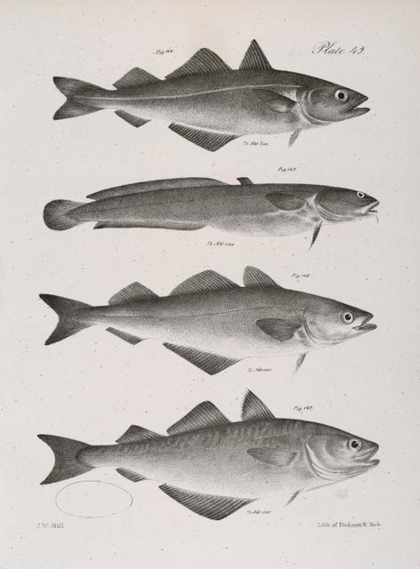 144. The Coal-fish (Merlangus carbonarius ). 145. The Plain Burbot (Lota inornata). 146. The Green Pollack (Merlangus leptocephalus). 147. The New-York Pollack (M. purpureus).