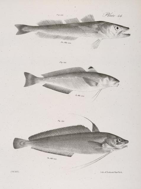 148. The American Hake (Merlucius albidus). 149. The Spotted Codling (Phycis punctatus). 150. The American Codling (P. americanus).
