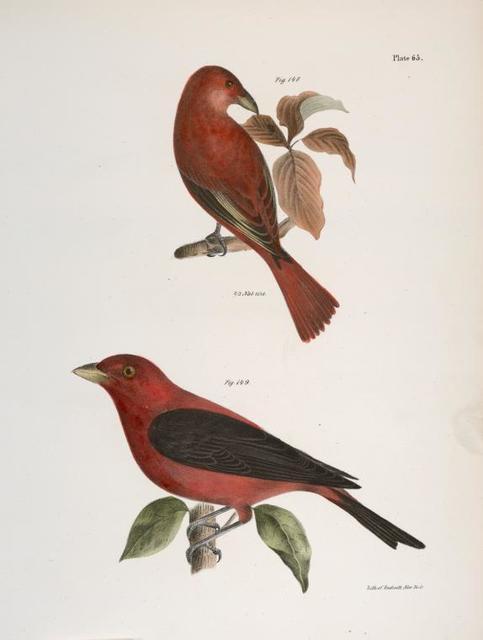 148. The Redbird (Pyranga æstiva). 149. The Black-winged Redbird (Pyranga rubra).