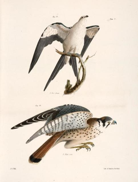 15. The Swallow-tailed Hawk (Nauclerus furcatus). 16. The American Sparrow Hawk (Falco Sparverius).