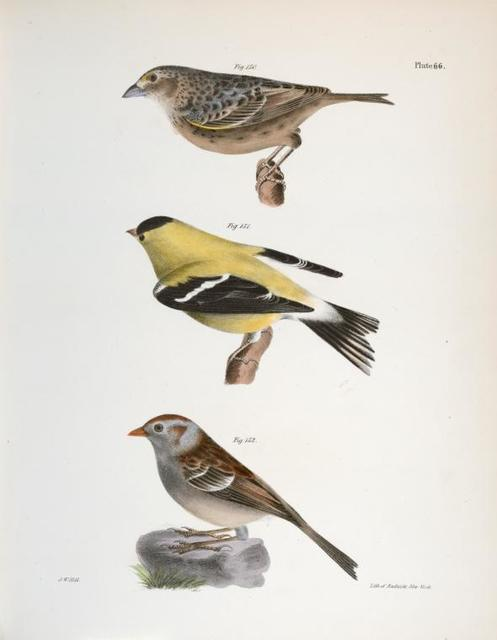 150. The Yellow-winged Bunting (Emberiza passerina). 151. The Yellowbird (Carduelis tristis). 152. The Field Bunting (Emberiza pusilla).