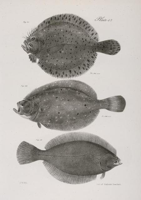 151. The Spotted Turbot (Pleuronectes maculatus). 152. The Long -toothed Flounder (Platessa ocellata).  153. The Pigmy Flat-fish (Platessa pusilla).