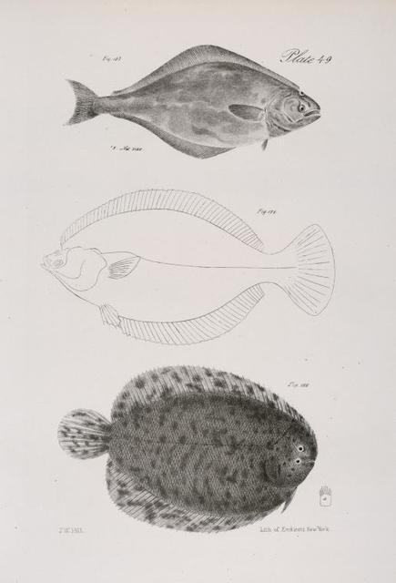 157. The Halibut (Hippoglossus vulgaris). 158. Platessa plana, reversed and doubled. 159. The New-York Sole (Achirus mollis).