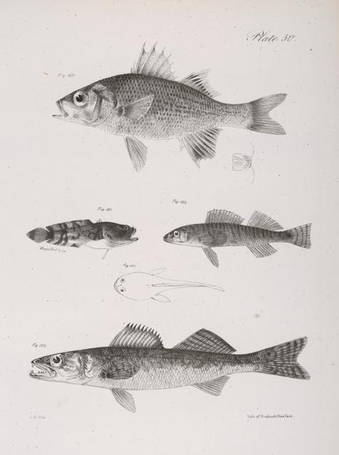 160. The Small Black Bass (Labrax nigricans). 161. The Two-spined Toad-fish (Batrachus celatus). a. Dorsal view of the same. 162. The Champlain Pickering (Pileoma fasciatum). 163. The Yellow Pike-perch (Lucioperca americana).