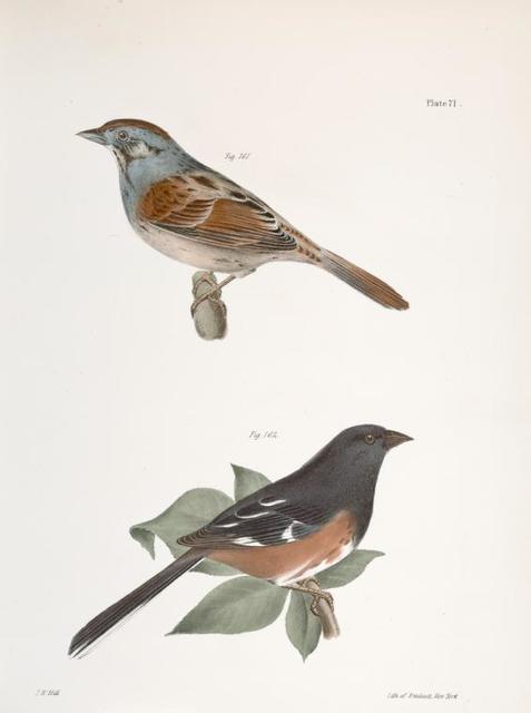 161. The Swamp Finch (Ammodramus palustris). 162. The Chewink (Pipilo erythrophthalmus).