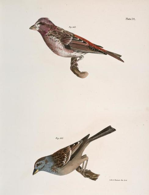 163. The Crested Purple Finch ( Erythrospiza purpurea). 164. The Tree Bunting (Emberiza canadensis).