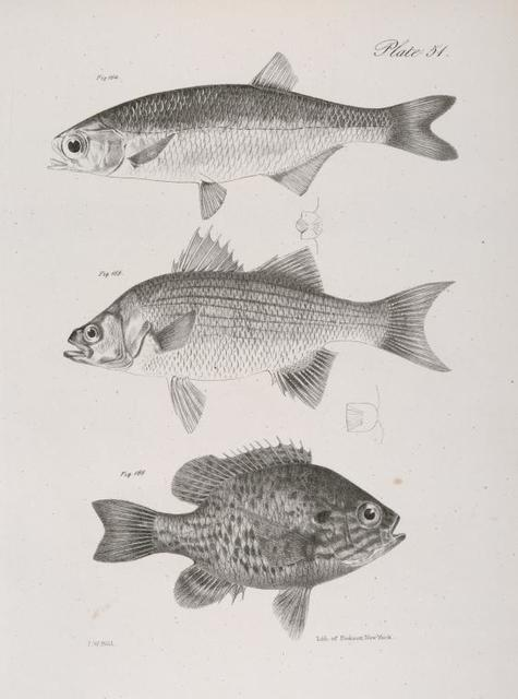 164. The Lake Mooney (Hyodon clodalus). 165. The White Lake Bass (Labrax albidus). 166. The Common Pond-fish (Pomotis vulgaris).