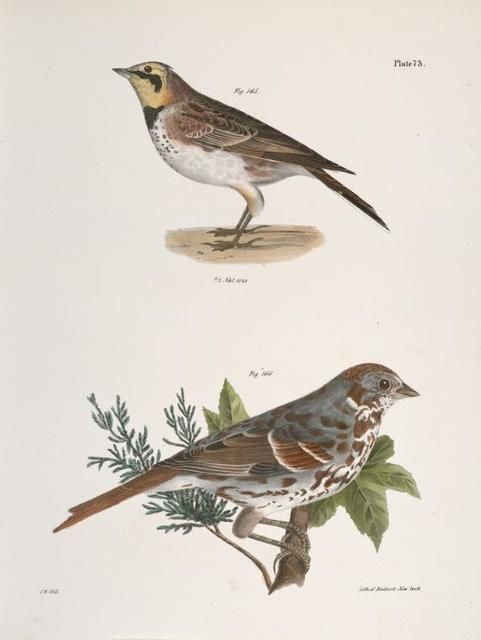 165. The Horned Lark (Alauda cornuta). 166. The Fox-colored Sparrow (Fringilla iliaca).