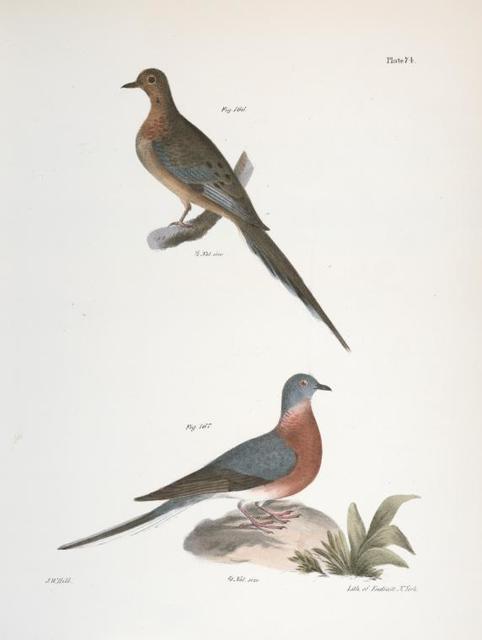 166. The Carolina Turtle Dove (Ectopistes carolinensis). 167. Ther Wild Pigeon (Ectopistes migratoria).