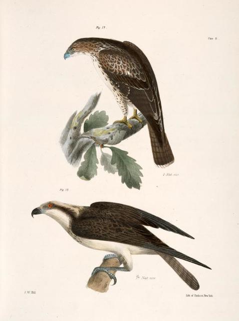 17. The Red-tailed Buzzard (Buteo borealis). 18. The Fish Hawk (Pandion carolinensis).