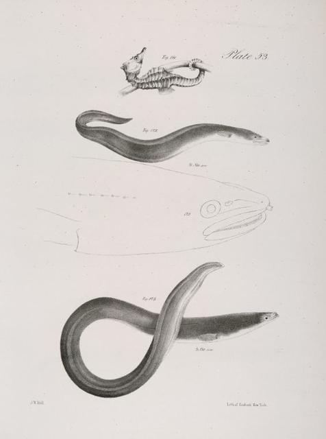 171. The Hudson-river Sea Horse (Hippocampus hudsonius). 172. The American Conger (Conger americanus). 173. The Common New-York Eel (Anguilla tenuirostris).