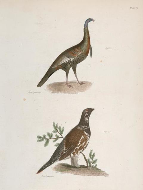 172. The Wild Turkey (Meleagris gallopavo). 173. The Spruce Grouse (Tetrao canadensis).