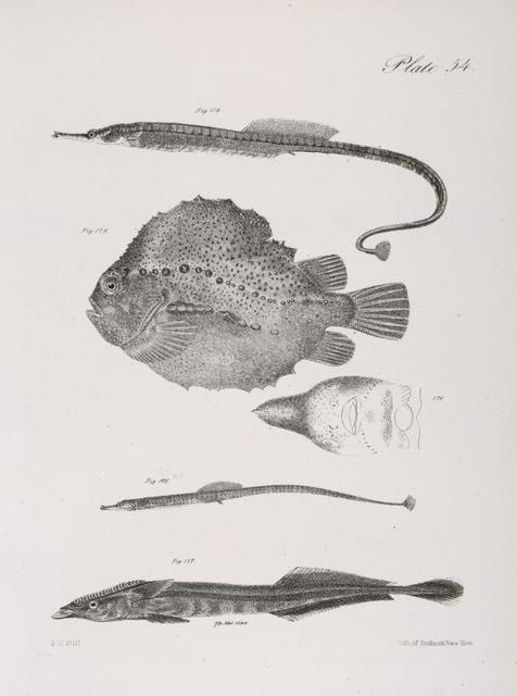174. The Banded Pipe-fish (Syngnathus fasciatus). 175. The Lump-fish (Lumpus anglorum). View of the under side of the same. 176. The Green Pipe-fish (Syngnathus viridescens). 177. The White-tailed Remora (Echeneis albicauda).
