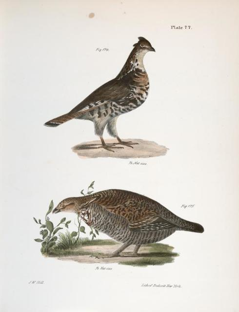 174. The Common Partridge (Tetrao umbellus). 175. The Pinnated Grouse (Tetrao cupido).