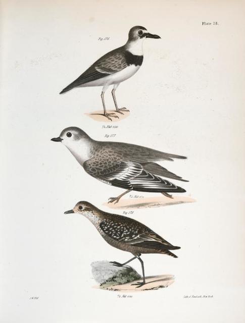 176. Wilson's Plover (Charadrius wilsonius). 177. The Piping Plover (Charadriusmelodus). 178. The Golden Plover (Charadrius virginiacus).
