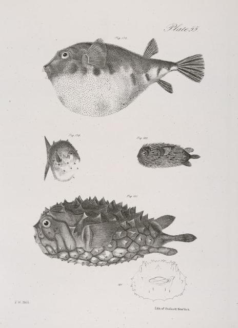 178. The Common Puffer (Tetraodon turgidus). 179. The Small Globe-fish (Acanthosoma catinatum). 180. The Hairy Balloon-fish (Diodon pilosus). 181. The Unspoted Balloon-fish (D. fuliginosus).